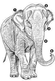 The Status Of Asian Elephants Magazine Articles Wwf