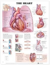 Cardiac Anatomy Chart The Heart Anatomical Chart