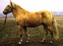 Башкирская лошадь лошадь башкирская местная порода лошадей  Башкирская лошадь