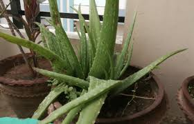 popular houseplants that are toxic to