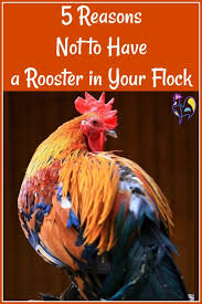 5 good reasons not to have a rooster