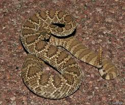 Snake With Diamond Pattern Classy California Rattlesnakes