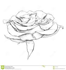 Small Picture httpthumbsdreamstimecomzhighly detailed hand drawn rose