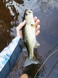 Florida Freshwater Fishing Regulations Chart Central Florida Freshwater Fly Fishing Coastal Angler