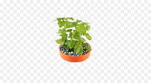 tea flowerpot plant planting in a pot of lemon balm