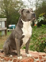 Haakpatroon voor staffordshire bull terrier, american staffordshire terrier, pitbull terrier. American Bully Blue Line Welpen Kaufen