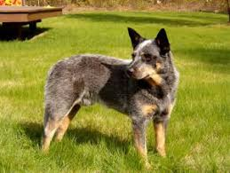 Australian Cattle Dog Cattle Dog Wire Basket Dog