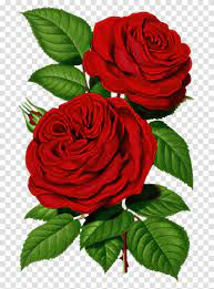 Victorian Red Rose Graphic Good Morning ...