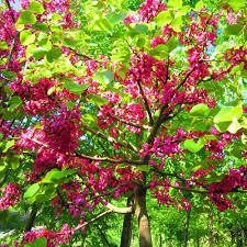 Tüplü Kokulu Erguvan Ağacı Fidanı (4-5 yaş) (250-300 cm)