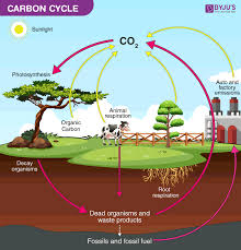 Carbon Cycle Flow Chart Carbon Cycle Definition Process Diagram Of Carbon Cycle