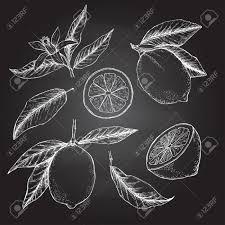 手書きのベクトル イラスト レモンのコレクション葉花の植物