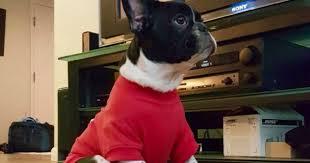 featured dog breed frenchton ganaraskan