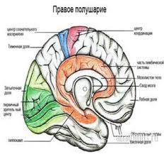 Реферат Головной мозг  Нижняя поверхность или основание головного мозга образовано вентральными поверхностями полушарий большого мозга мозжечка и наиболее доступными здесь для