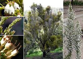 Erica arborea L. - Sistema informativo sulla flora vascolare dei Colli ...