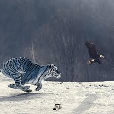 Foto hd elang vs harimau : Maung Bandung Terkam Super Elang Jawa Bola Nusantara
