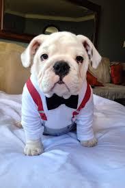 cute english bulldog puppy. Exellent Puppy Voy A Una Fiesta Me Acompaan Ms With Cute English Bulldog Puppy