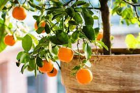 best fruit trees to grow in containers
