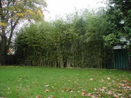 ... Pseudosasa japonica , and Phyllostachys vivax, grown into effective  bamboo privacy screens. (the P. vivax in this photo is about 50 feet tall!!)