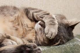 Image result for picture of cat in pain