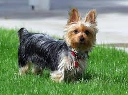 silky dog. ruby the silky terrier pictures 690785 dog 1