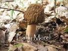 Images & Illustrations of early morel