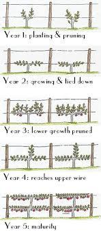 Annie Elizabeth Apple Trees  Ashridge NurseriesGrowing Cordon Fruit Trees