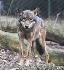 What Distribution Pattern Describes Wolves That Live In Packs