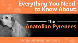 The Anatolian Pyrenees A Complete Guide Doggie Designer