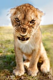 This is my angry face lion Pinterest Angry face Lions and.
