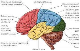 Реферат Ключевые слова ИНТЕРФЕЙС МОЗГ КОМПЬЮТЕР МОЗГ  Рисунок 12 Локализация функций головного мозга Выбор места наложения электродов в зависимости от типа ИМК