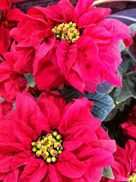post image for poinsettias from the paul ecke ranch in encinitas california