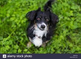 black and white terrier mix. Modren Terrier Small Black And White Terrier Mix Dog Looking Up While Sitting On Grass  With A Crooked Underbite Smile With Black And White Terrier Mix