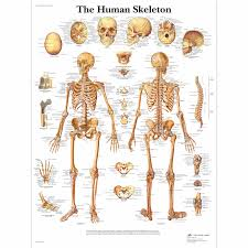 human skeleton poster human skeleton chart paper human skeleton chart