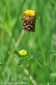 Trifolium spadiceum – jetel kaštanový | Pladias: Database of the ...