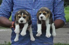 siberian husky saint bernard great dane puppies in shadnagar hyderabad pets on hyderabad quikr clifieds