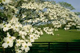Dogwood Tree Facts   Everything You Need To Know furthermore Flowering Dogwoods   Garden Shoots in addition White Dogwood Tree   White Flowering Dogwood Trees for Sale   Fast as well Best Trees to Plant   10 Options for the Backyard   Bob Vila besides  further  additionally Dogwoods  'Appalachian Spring' vs  'Venus' in addition Growing Dogwoods   UGA Cooperative Extension further Dogwood Aurora   Garden Housecalls besides Meet 12 Species of Dogwood Trees  Cornus Genus furthermore . on american dogwood house plant