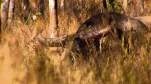 driven tv australian water buffalo markquart motors eau claire and chippewa falls