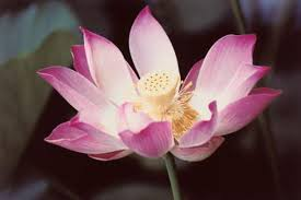 Colors Of Lotus Flowers Home Guides Sf Gate