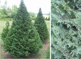This is the tree most people refer to as Leyland Cypress and is the  cultivar most commonly used for Christmas trees. In landscape, they will  grow to a ...