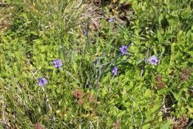 Blue iris (Iris versicolor) and strict blue-eyed grass (Sisyrinchium ...