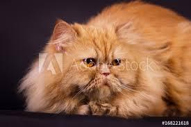 orange persian cat. Wonderful Orange Orange Persian Cat On Persian Cat Y