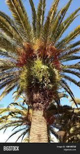 Orlando FL Slightly Uncommon Palm Tree Orange Stringy Small Palm Tree Orange Fruit