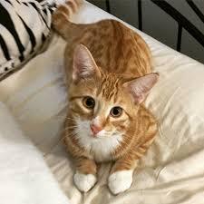 Cat Intelligence Wikipedia