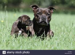 Staffordshire Bull Terrier Puppies High ...