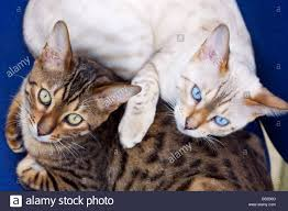 snow bengal cat. Fine Snow Two Young Male Bengal Cats A Brown Spotted And Snow  Stock Image On Cat 6