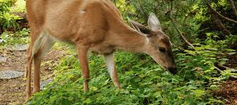 how to keep deer out of your garden for