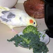 Cockatiel Diet Chart Cockatiels Healthy And Nutritious Safe Foods Safe Fruits