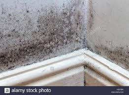 Black Mould Growing On The Walls, Skirting Boards And Floor Of A Rented  House In