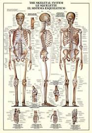 Human Skeleton Wall Chart Details About The Skeletal System Human Body Anatomy Huge Scientific Wall Chart Poster