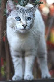 Image result for light grey cat